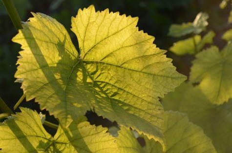 Feuille de vigne d'Erick Schreiber viticulteur de champagne bio