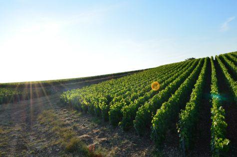 Vignes bios et biodynamiques au coucher de soleil