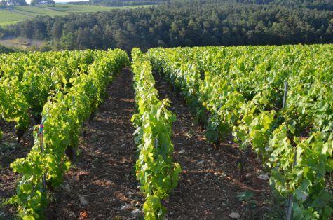 Vignes d'Erick Schreiber producteur de champagne en biodynamie