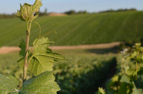 Pampre de la vigne Erick Schreiber champagne naturel