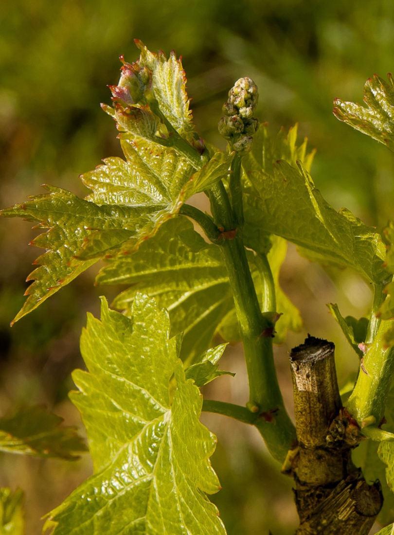 Bourgeons et feuilles des vignes de Erich Schreiber, viticulteur bio